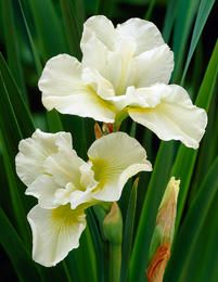 Iris sibirica Harpswell Happiness - 1 plant buy online order now