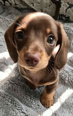 How To Care For A New Dachshund Puppy - cute puppies Dachshund Puppies, Cute Dogs And Puppies, Baby Dogs, Doggies, Dachshunds, Weenie Dogs, Baby Weiner Dogs, Cute Tiny Dogs, Teacup Chihuahua Puppies