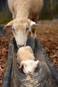 Mama sheep and her Lamb cute😍 Farm Animals, Animals And Pets, Cute Animals, Beautiful Creatures, Animals Beautiful, Photo Animaliere, Tier Fotos, All Gods Creatures, Country Life