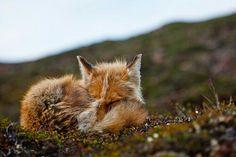 nice Fox