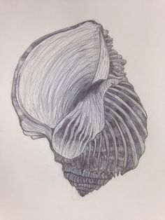Shell biro drawing, note the curved build up of tone to suggest 3-D form.