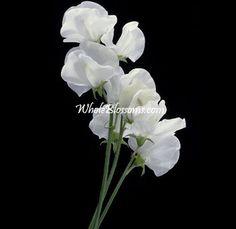 White Sweet Peas flower