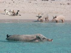 Pig beach, Bahamas. Cats and goats also live on the Cay.