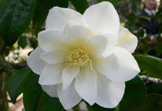 white camellia flower Sugar Flowers, Paper Flowers, Types Of White Flowers, White Camellia, Superflat, English Country Gardens, Moon Garden, Ornamental Plants, Bulb Flowers