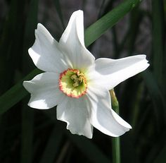 Any member of a genus (Narcissus) of bulbous, often fragrant, ornamental plants in the family Amaryllidaceae. The genus contains about 40 species, native primarily to Europe. Daffodil,...