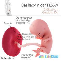 Der Fötus in der 11.SSW und die gesamte Entwicklung des Babys in der 11.Schwangerschaftswoche. Finde alle Informationen zu deiner Schwangerschaft im Schwangerschaftskalender von Babycloud