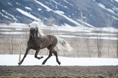 Stunning Icelandic! My uncles horse he's adorable and has a great character! His name is Sjarmi and he is a stallion