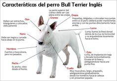 caracteristicas bull terrier ingles