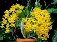 Orquídea Dendrobium chrysotoxum - Jardim Exótico - O maior portal de mudas do Brasil.