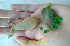Cultivo de suculentas