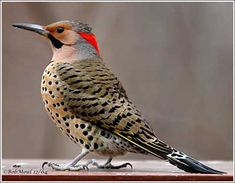 male Northern Flicker Spotted in my front yard on 2/15/2014 pecking through the snow to get acorns