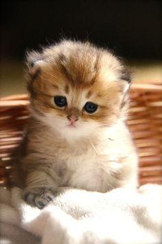 British longhair kitten | cats | | kittens | #cats #cutecats   https://biopop.com/