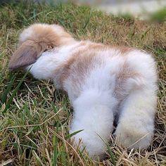 fluffy bunny resting rabbit #CuteFluffyThings