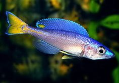 Cyprichromis leptosoma (Mpulungu) ** ESTABLISHED ** LAKE TANGANYIKA CICHLID ** at Aquarist Classifieds