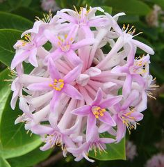 Pom-Pom tree (Dais cotinifolia) flowers