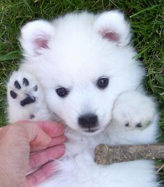 This Japanese Spitz looks to be about 3 1/2 months. Description from pinterest.com. I searched for this on bing.com/images