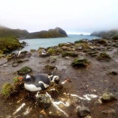 Elsehul: Gentoo penguins on the outskirts of the colony had the most amazing nests: who knew poo could be used with such flair? (1 of 2) #SouthGeorgia #Antarctica #gentoopenguins #latergram #blastradius http://ift.tt/2jenWi0