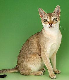 American Curl Cat Singapore