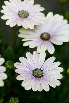 Osteospermum 'Sunny Bianca'