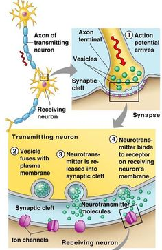neurotransmission process step by step Brain Anatomy, Human Anatomy And Physiology, Brain Science, Teaching Science, Nervous System Anatomy, Ap Psychology, Exercise Physiology, Nursing Notes, Medical Information