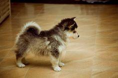Pomeranian + Husky = Pomski SO CUTE