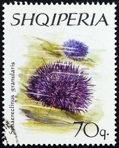 Violet Sea Urchin (Sphaerechinus granulatus),   stamp printed in Albania, circa 1966