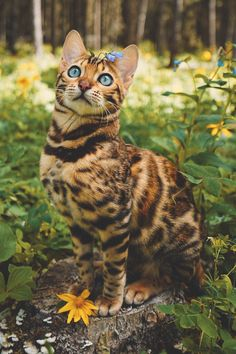 Bengal with blue eyes.