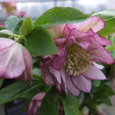 http://shop.unquadratodigiardino.it/ellebori-e-altri-fiori-invernali/591-helleborus-double-ellen-pink.html
