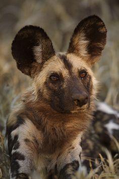 African Wild Dog ~ Handsome by Kim Wolhuter**