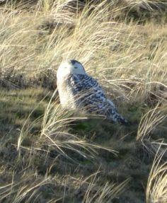 Close-up Sneeuwuil op #Vlieland (2014)