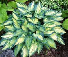 Medium Hosta Cultivar  Our June Hosta is a sport of Halcyon Hosta. The June Hosta is an American Hosta Growers Hosta of the Year for 2001.  Sun tolerant; slug resistant