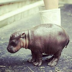 Do you think if I got a baby hippo I can raise it into a wonderful pet that wouldn't hurt me?? Yes!?