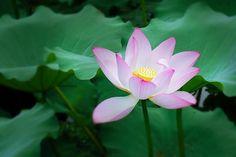 Lotus, Summer, Plant, Flowering