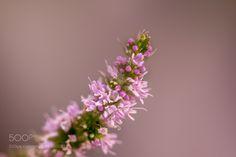 lavender blossom by lazpitsavas. @go4fotos