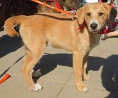 Darwin is an adoptable Golden Retriever Dog in Washington, DC. FOSTER or ADOPT Darwin!? Foster Program: ?? Foster homes provide for the temporary care of a rescue until the dog is placed into a loving...