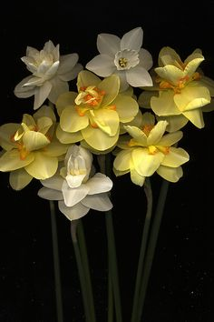 Narcissus (The flower of December birthdays)