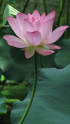 Sacred Indian Lotus: Nelumbo nucifera [Family: Nelumbonaceae]