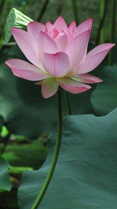 Sacred Indian Lotus: Nelumbo nucifera [Family: Nelumbonaceae]