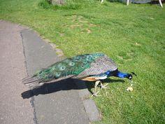 Peacock at Camperdown Park
