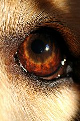 """Eye of a Golden    All of our Goldens have had that look with the eye that they can give you. It' just that certain look that says """"You talkin to me?"""""""