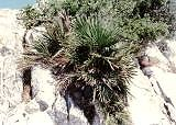 Chamaerops humilis, Gibraltar - outdoor Palme. Pflege  Anleitung