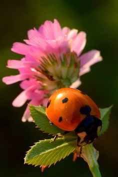 *****  Ladybug