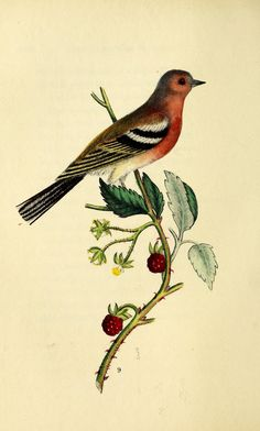 https://flic.kr/p/te7UCU | n263_w1150 | The language of birds :. London :Saunders and Otley,1837.. biodiversitylibrary.org/page/47512205