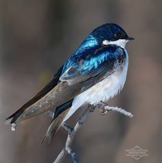 Tree Swallow Iridescence