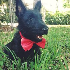 Reason Number 7 why Scottish Terriers are the cutest puppies in the world:...No other puppy looks this darn adorable in an over-sized bowtie. I was rockin' it with style since day numero 1. #HamiinMiami #puppy #scottishterrier . Want to see the other 6 Reasons? Then head to the blog right now: HamiinMiami.com