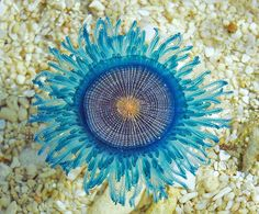 Under the Sea! Porpita porpita- Blue Button : Under the Sea! Underwater Creatures, Underwater Life, Ocean Creatures, Medusa, Jig Saw, Vida Animal, Fauna Marina, Photo Animaliere, Life Under The Sea