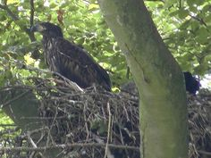 Scharfer Blick: Adler auf seinem Horst in der Nähe des Greifswalder Boddens.