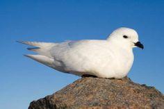 Snow Petrel Bird Picture - http://www.petandanimals.com/snow-petrel-bird-picture/