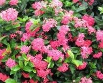 Superstar shrubs thrive will little care. Slide show in article.