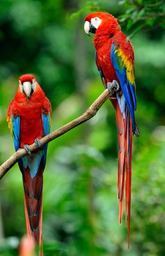 Scarlet macaws are the largest parrots in the world. They mostly eat nuts, leaves, berries, and seeds, but have been observed eating fruits poisonous enough to kill other animals. Scientists think they also eat clay to neutralize the plant toxins.